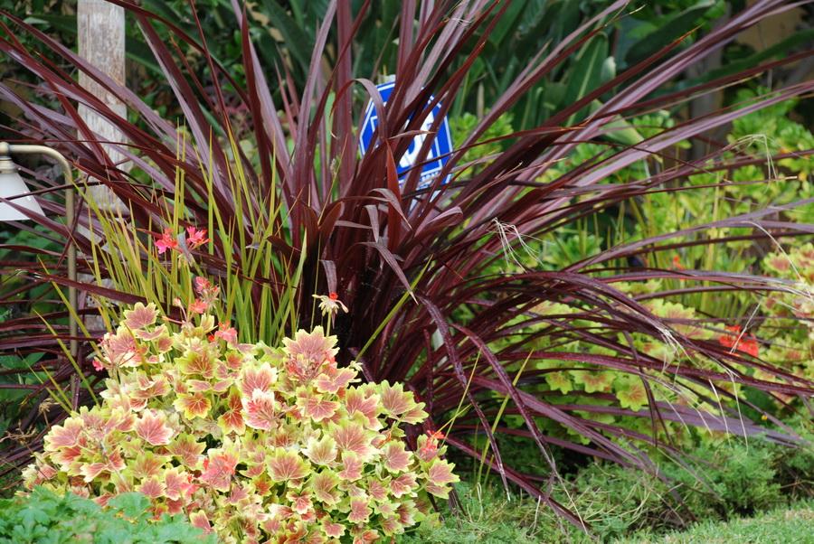 festival-grass-geranium