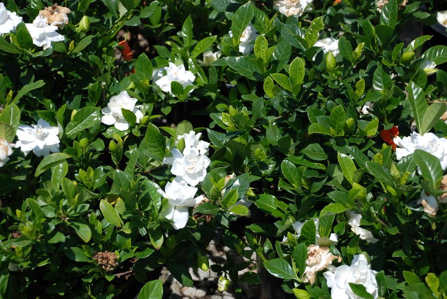 gardenia-vietchi
