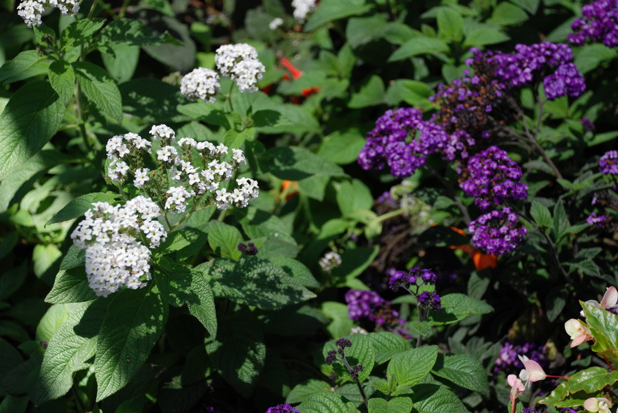 heliotrope-white-purple